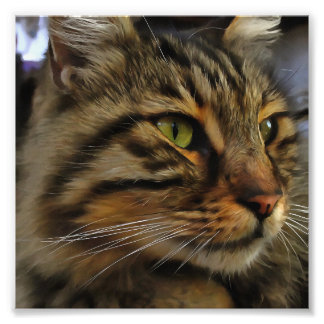 Aslan The Long Haired Tabby Cat Photo Print