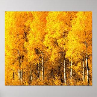 Aspen Trees in Colorado Poster