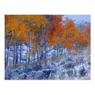 Aspen trees in Fall colors, Bighorn Mountains, Postcard