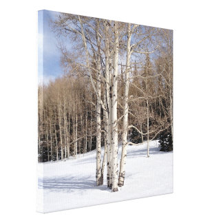 Aspen Trees in Snow Canvas Prints