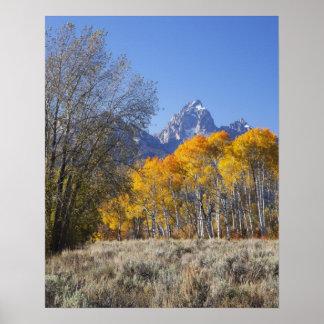 Aspen trees with the Teton mountain range 3 Posters