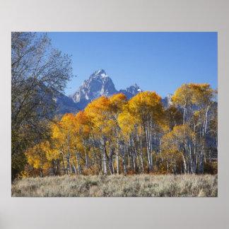 Aspen trees with the Teton mountain range 4 Poster