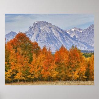 Aspen trees with the Teton mountain range 5 Poster