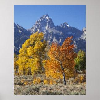 Aspen trees with the Teton mountain range 6 Poster