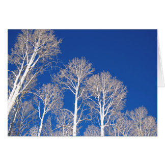 Aspens in Winter Card