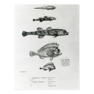 Aspidophorus Chiloensis and Agriopus Hispidus Postcard