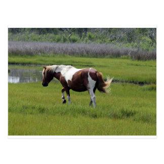Assateague Wild Horse Postcard