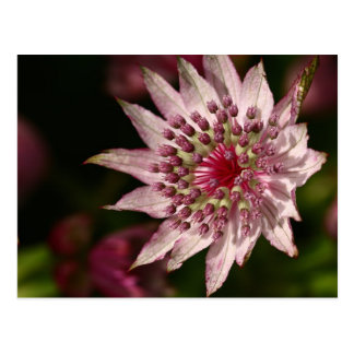 Astrantia Close Up Postcard