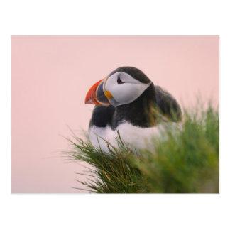 Atlantic Puffin (Fratercula arctica) 6 Postcard
