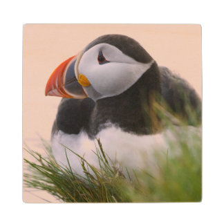 Atlantic Puffin (Fratercula arctica) 6 Wood Coaster