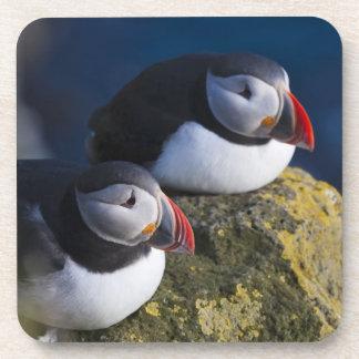 Atlantic Puffin (Fratercula arctica) 7 Drink Coasters