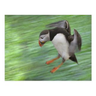 Atlantic Puffin (Fratercula arctica) flying Postcard