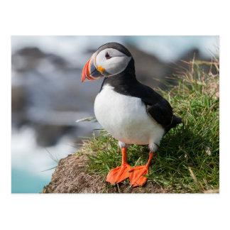 Atlantic Puffing into breeding plumage Postcard