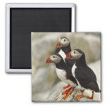 Atlantic Puffins on Machias Seal Island off the Refrigerator Magnet