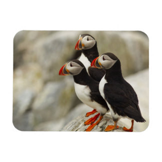 Atlantic Puffins on Machias Seal Island off the Rectangular Photo Magnet