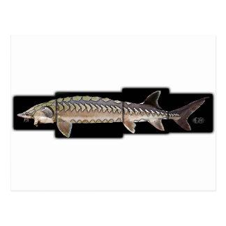 Atlantic Sturgeon - Acipenser oxyrinchus Postcard