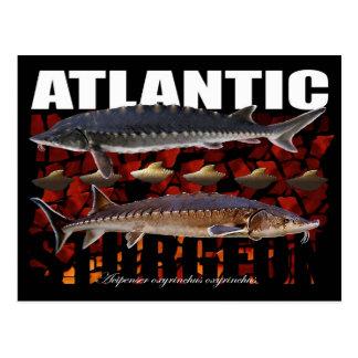 Atlantic Sturgeon-Collage-Postcard Postcard