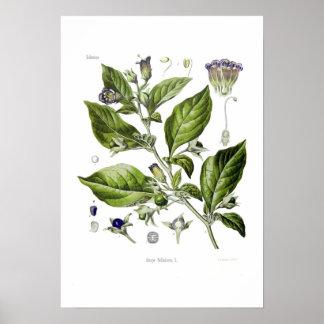 Atropa belladonna (Deadly Nightshade) Poster