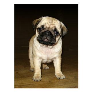 Attentive Pug Postcard