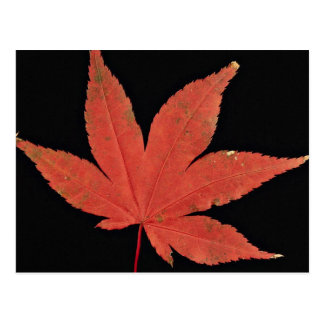 Attractive Japanese maple leaf Post Cards
