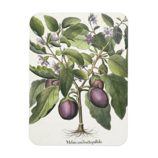 Aubergine: Melanzana fructu pallido, from the 'Hor Rectangle Magnets