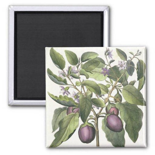 Aubergine: Melanzana fructu pallido, from the 'Hor Refrigerator Magnet