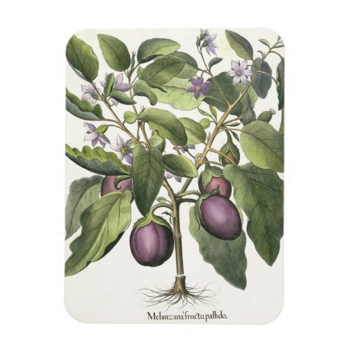 Aubergine: Melanzana fructu pallido, from the 'Hor Rectangle Magnets