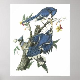 Audubon Blue Jay Poster