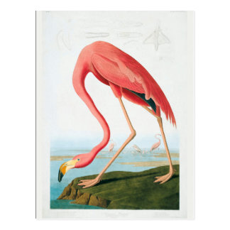 Audubon Flamingo Postcard