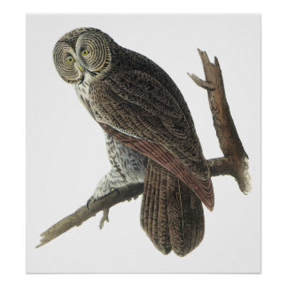 Audubon Great Gray Owl Poster or Print