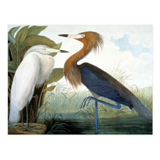 Audubon: Reddish Egret Or Purple Heron Postcard