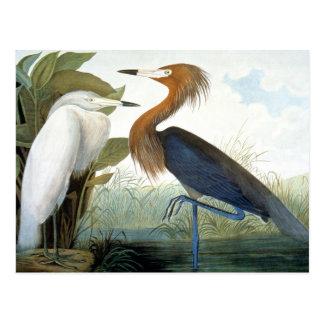 Audubon: Reddish Egret Or Purple Heron Postcard