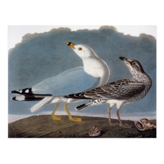 Audubon: Ring-Billed Gull Postcard
