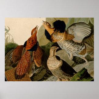 Audubon Ruffed Grouse Illustration Poster