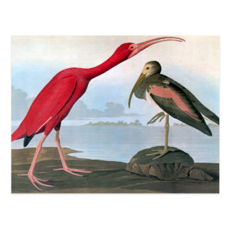 Audubon: Scarlet Ibis Postcard