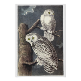 Audubon Snowy Owls Poster or Print