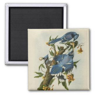 Audubon's Blue Jays Magnet