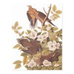 Audubon's Carolina Turtle Dove Postcard