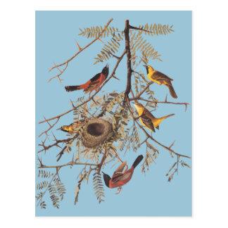 Audubon's Orchard Oriole in Honey Locust Postcard