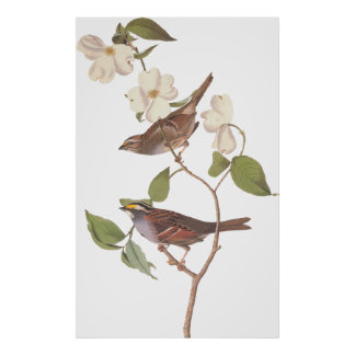 Audubon's White Throated Sparrow Bird with Flowers Poster