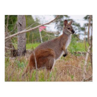 aussie wallaby postcard