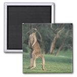 Australia, Vic. Kangaroo on the Anglesea Golf Square Magnet