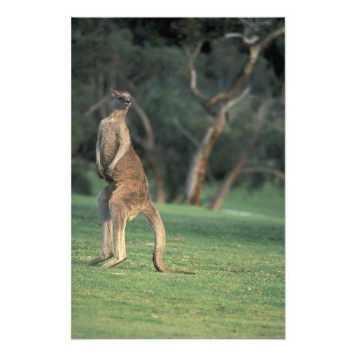 Australia, Vic. Kangaroo on the Anglesea Golf Photographic Print