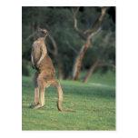Australia, Vic. Kangaroo on the Anglesea Golf Postcard