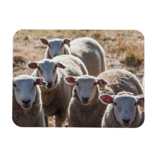 Australia, Victoria, Yarra Valley, sheep farm Rectangular Photo Magnet