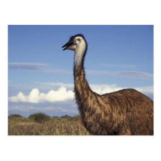Australia, Western Australia. Emu (Dromaius Postcard