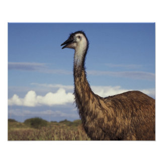 Australia, Western Australia. Emu (Dromaius Poster