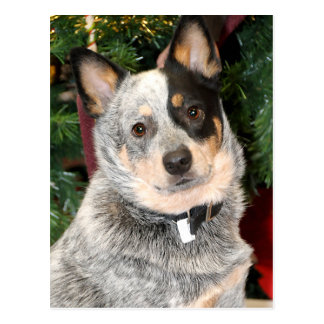 Australian Cattle Dog Photo Postcard