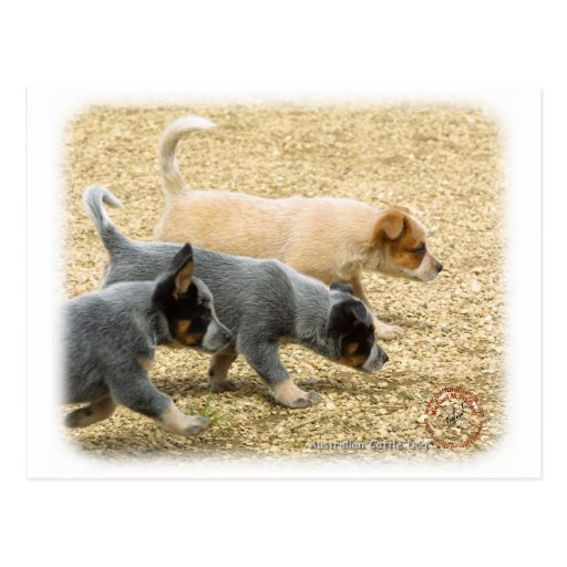 Australian Cattle Dog puppies 8T57D-18 Postcard