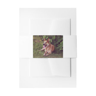 australian cattle dog red laying invitation belly band
